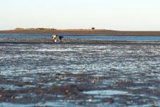 Motueka, la pêche aux molusques.